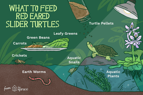 illustration of what to feed red eared slider turtles