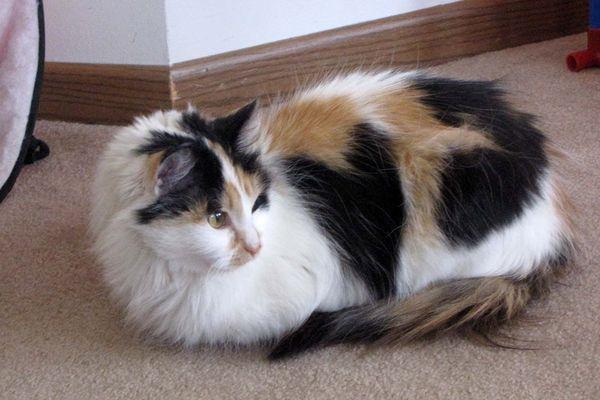 Photo of cat of the week calypso