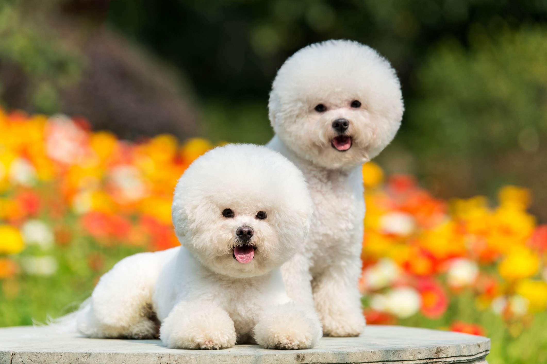 Bichon Frises dogs