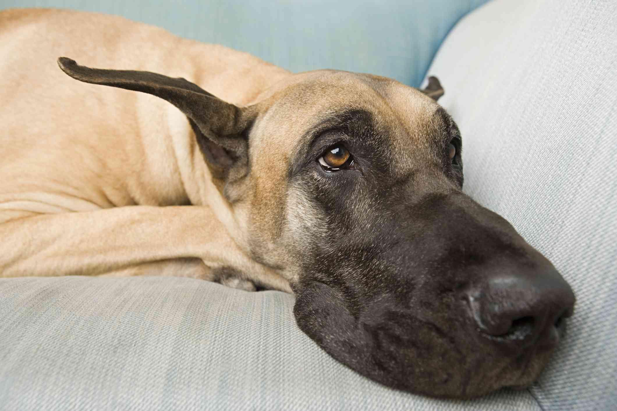 Gran danés descansando en el sofá;  Nombres de perros great dane