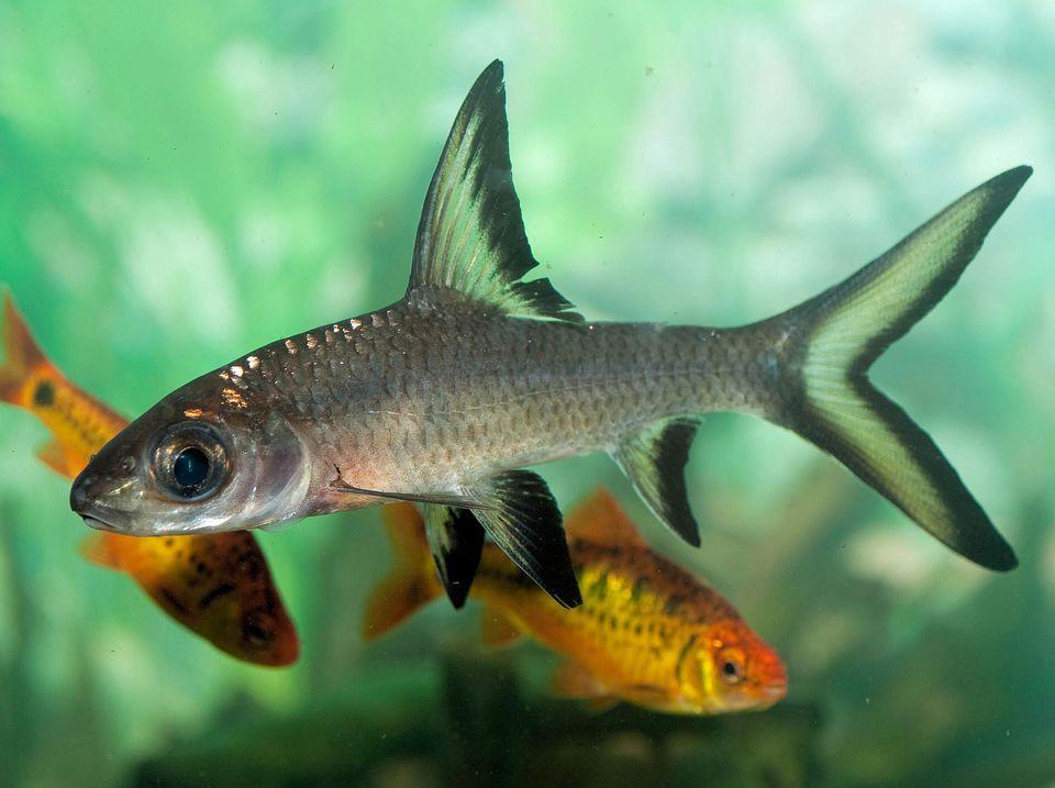 Balantiocheilus melanopterus - Bala Shark en un tanque