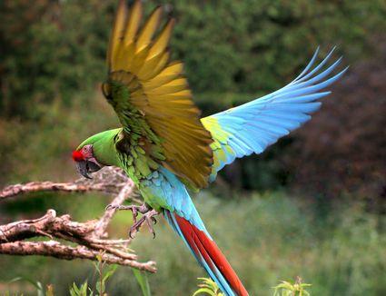 Military Macaw Landing
