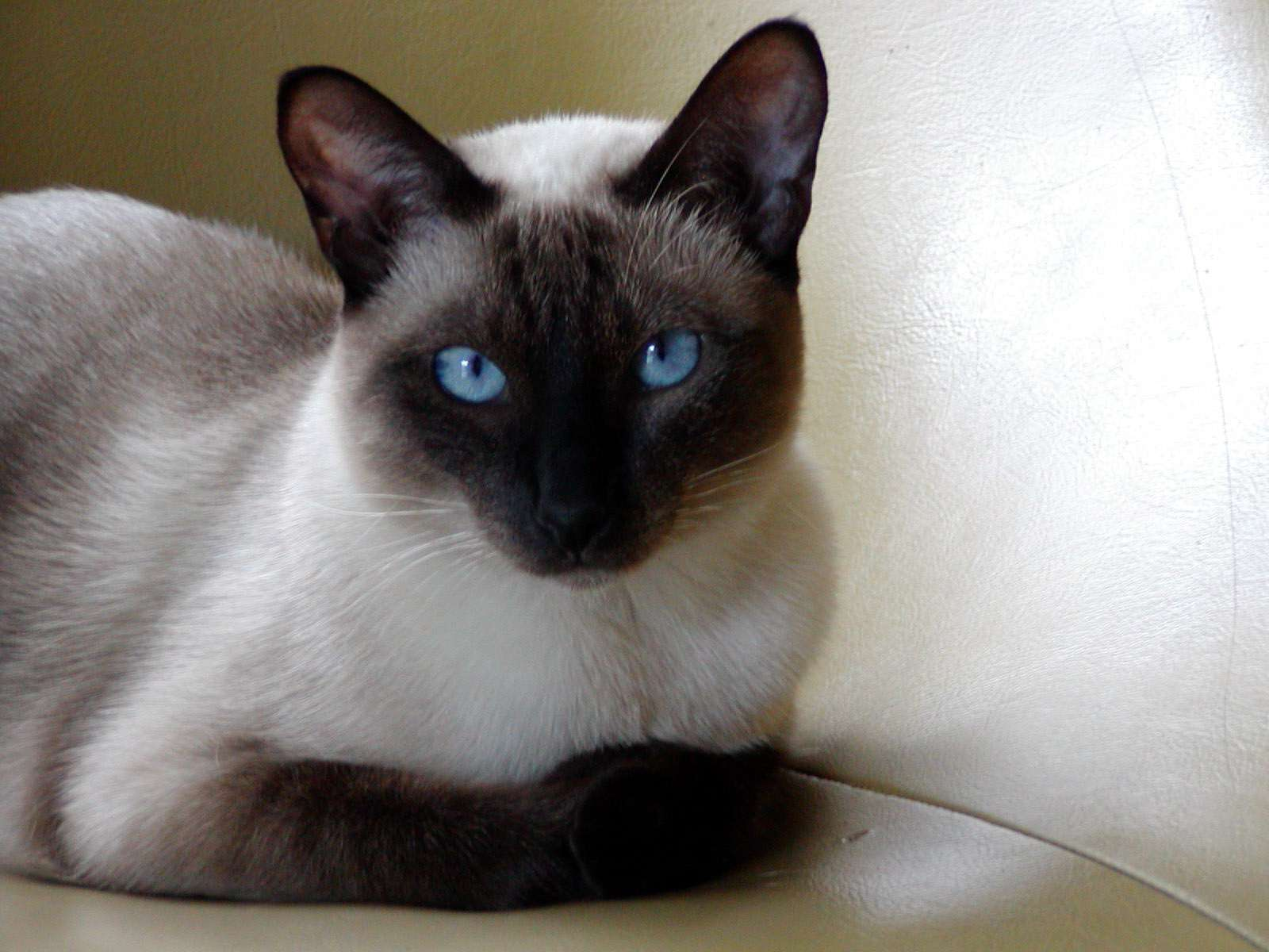 Siamese cat lying on a leather chair