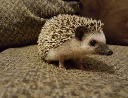 A close-up of a hedgehog indoors