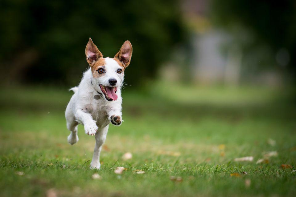 Un Jack Russell Terrier corriendo en un parque