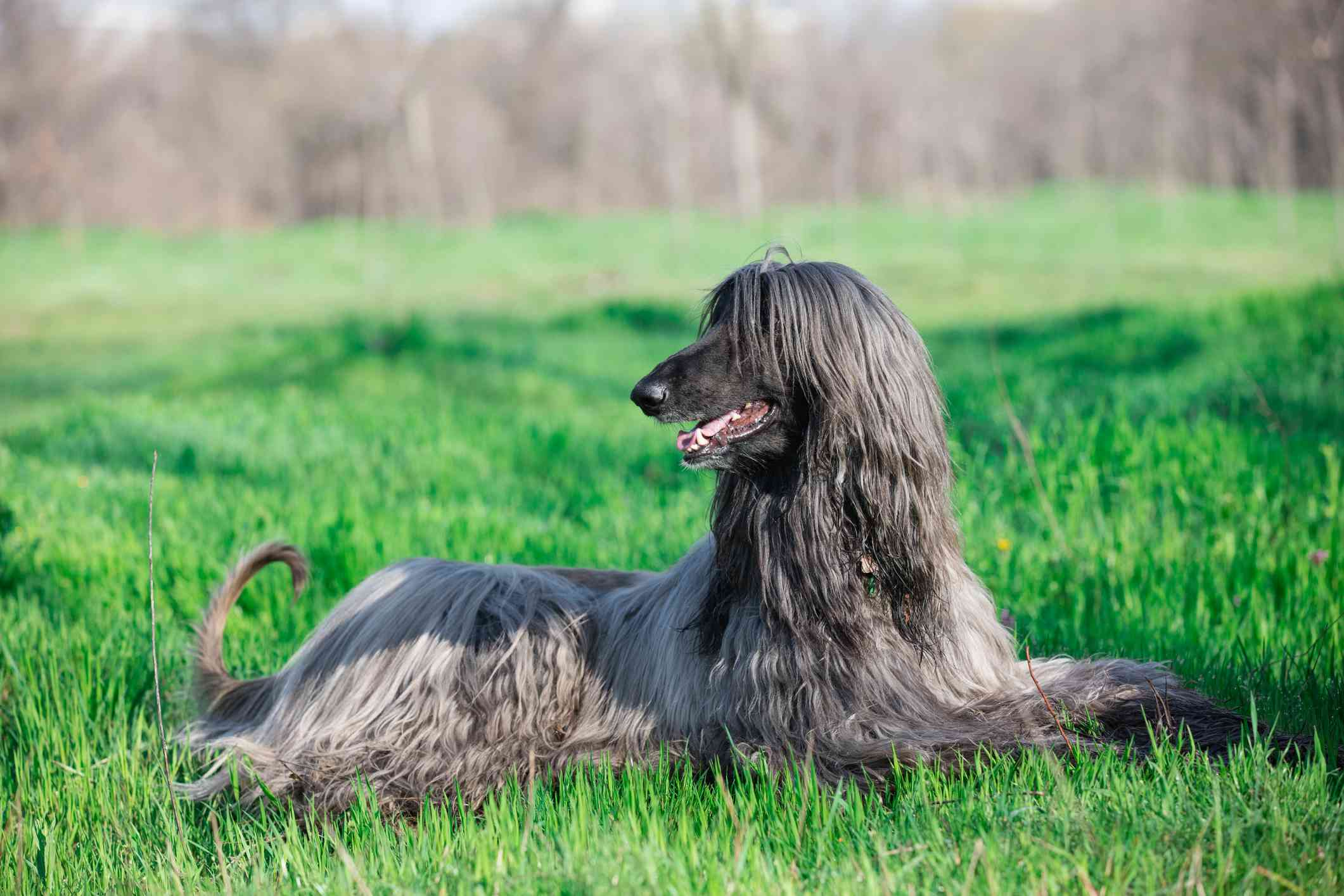 A thin and tall dog with long hair laying down in the grass.
