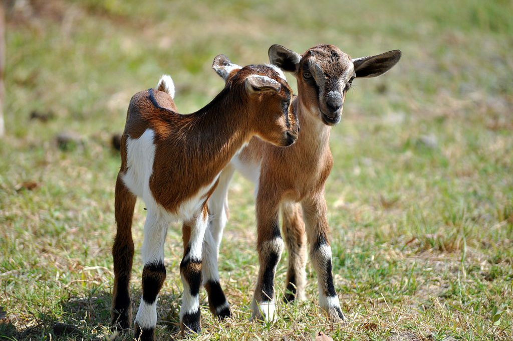 Two baby goat kids