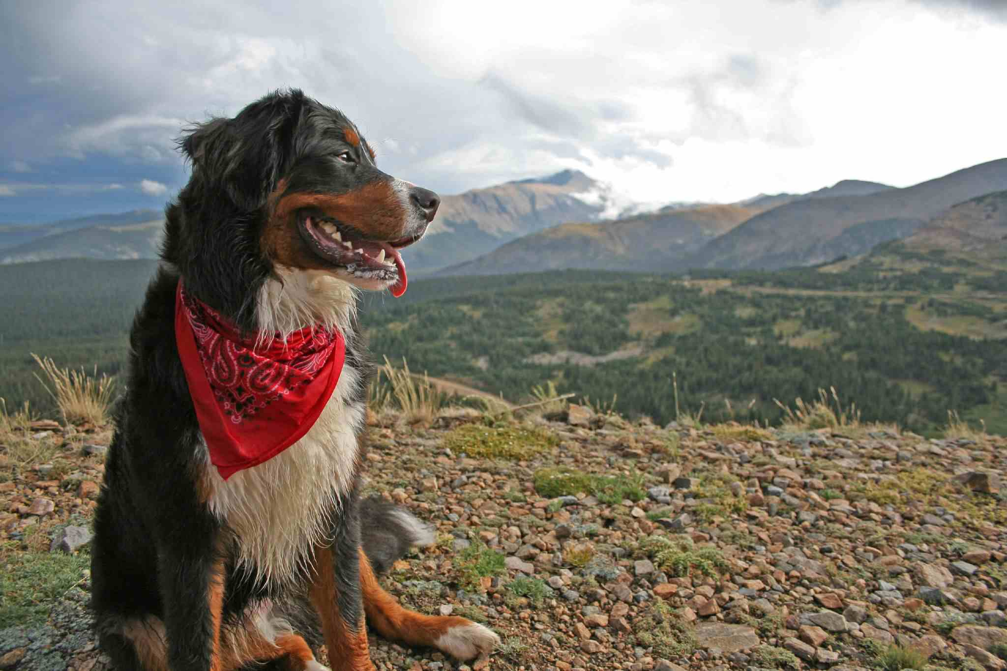 Dog with red bandana on mountaintop
