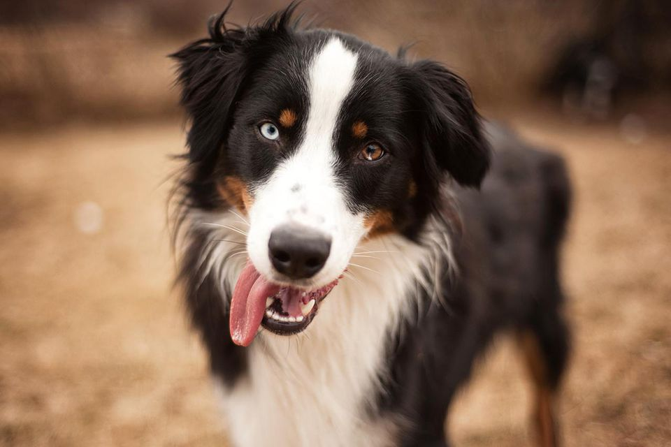 Black Tri Aussie with one blue eye and one brown eye