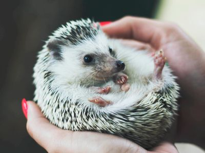 Hedgehog Pet Price >> Keeping And Caring For African Pygmy Hedgehogs As Pets