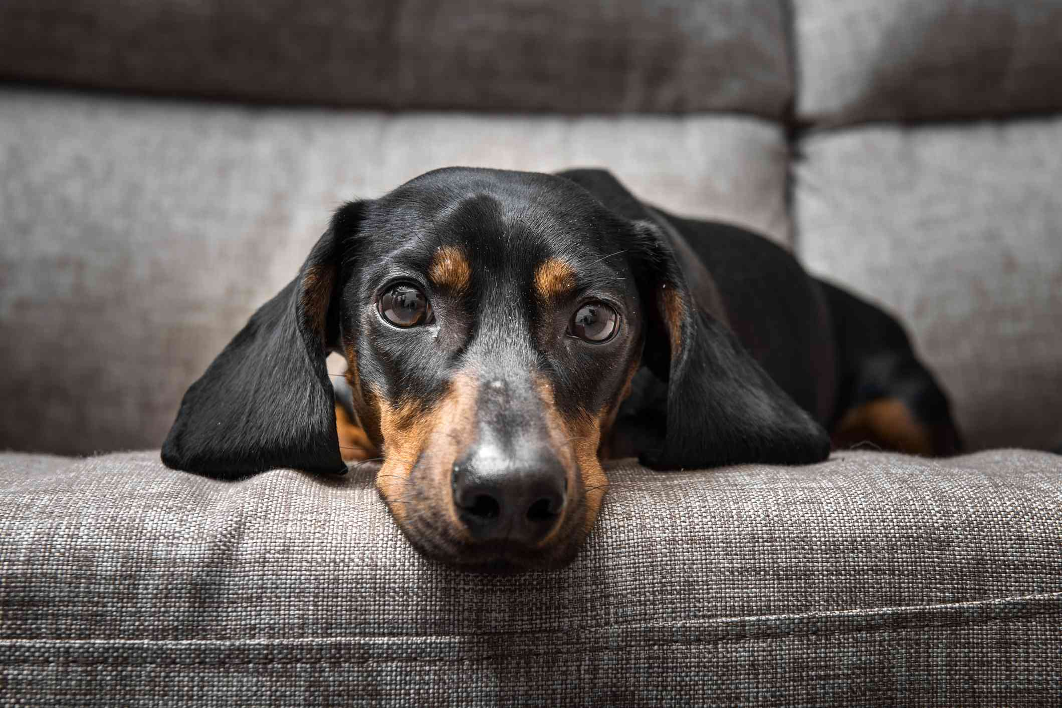 Dachshund lying on grey couch looking at camera.