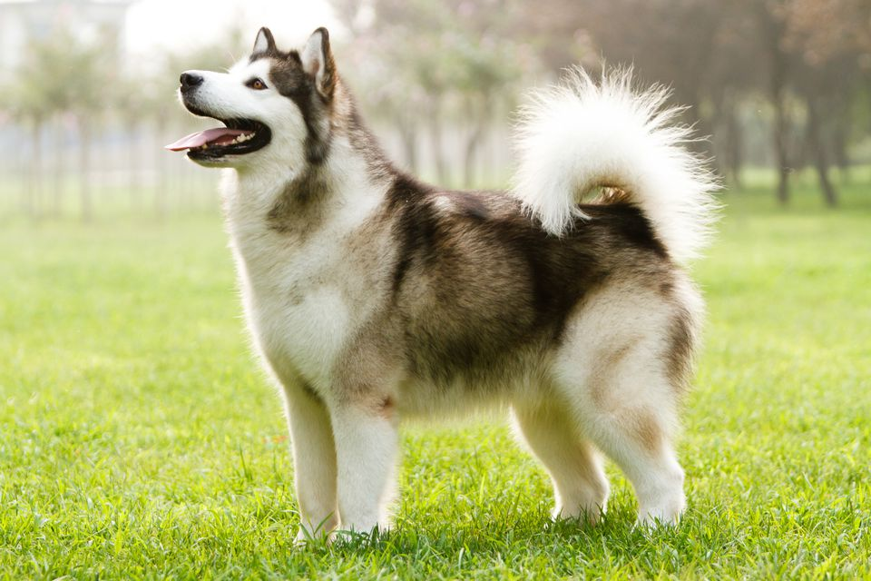 Adult gray Alaskan malamute standing on grass