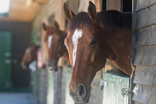 Horses in stall