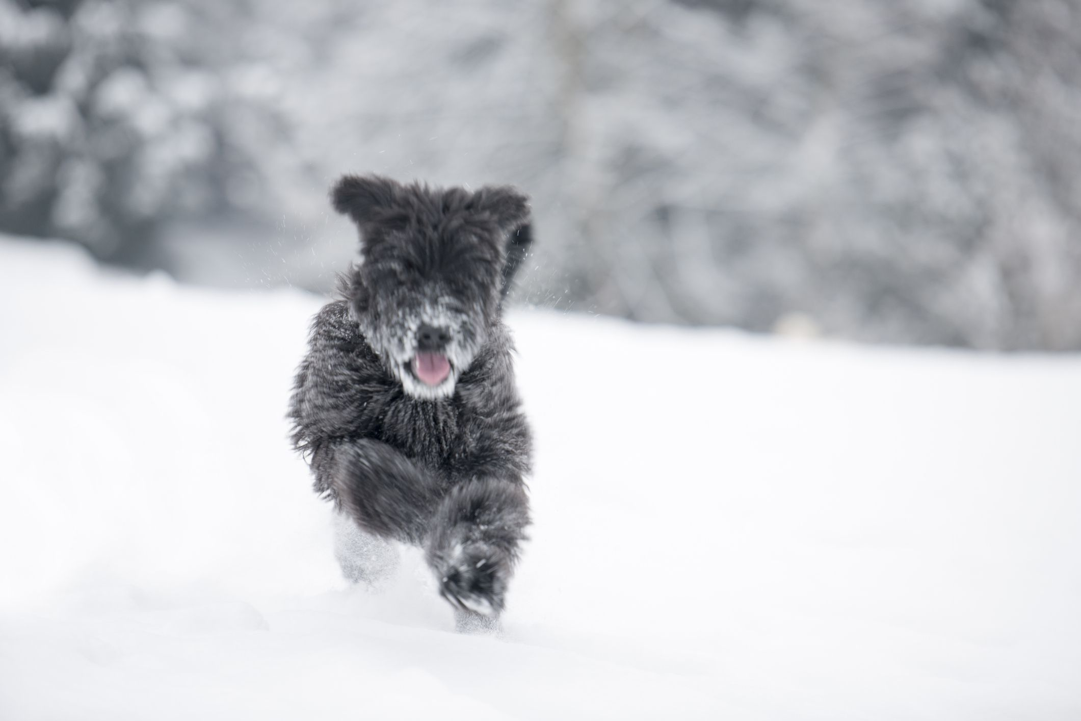 Black Briard puppy running through the snow.