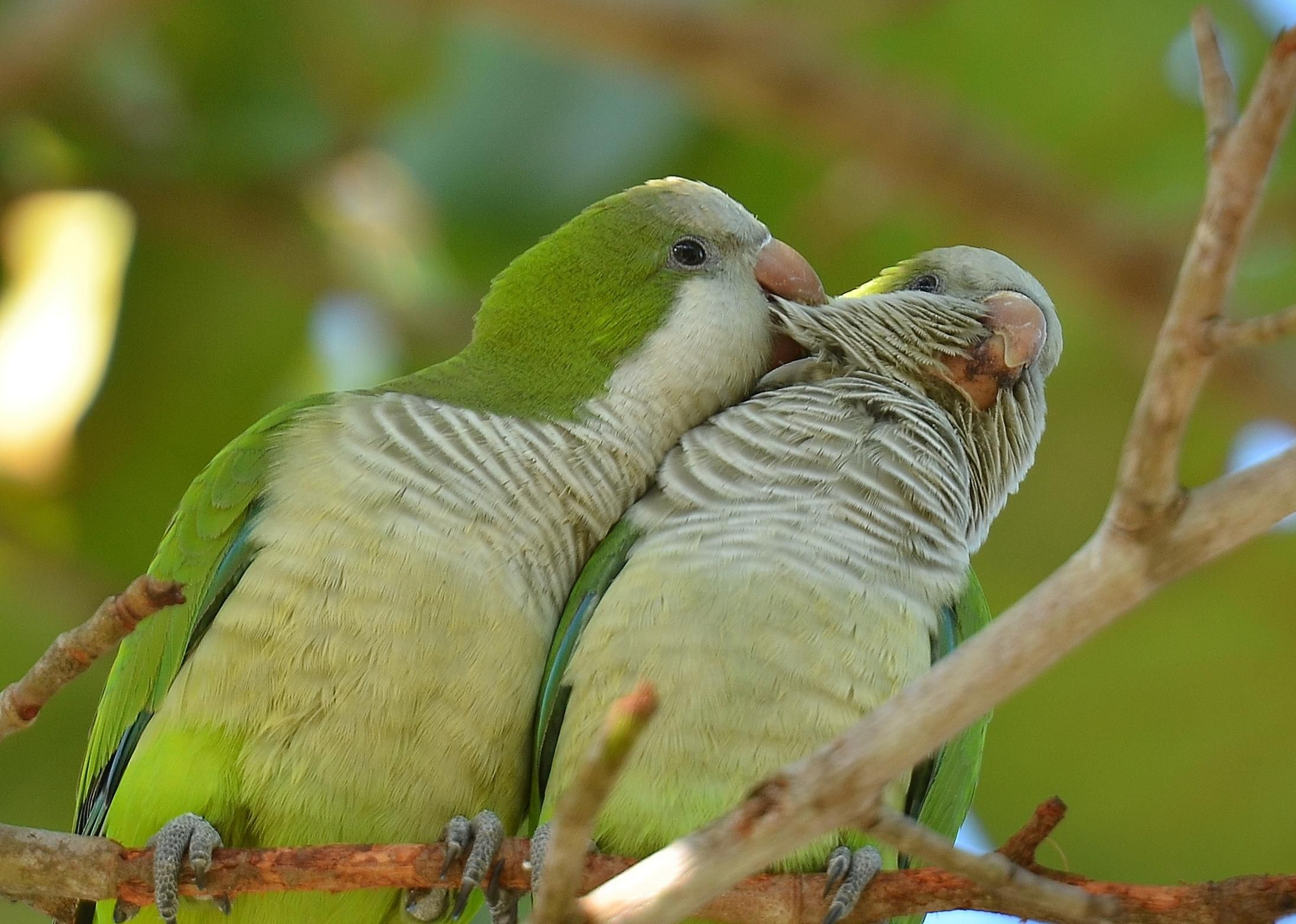 Quaker Parrot Bird Species Profile