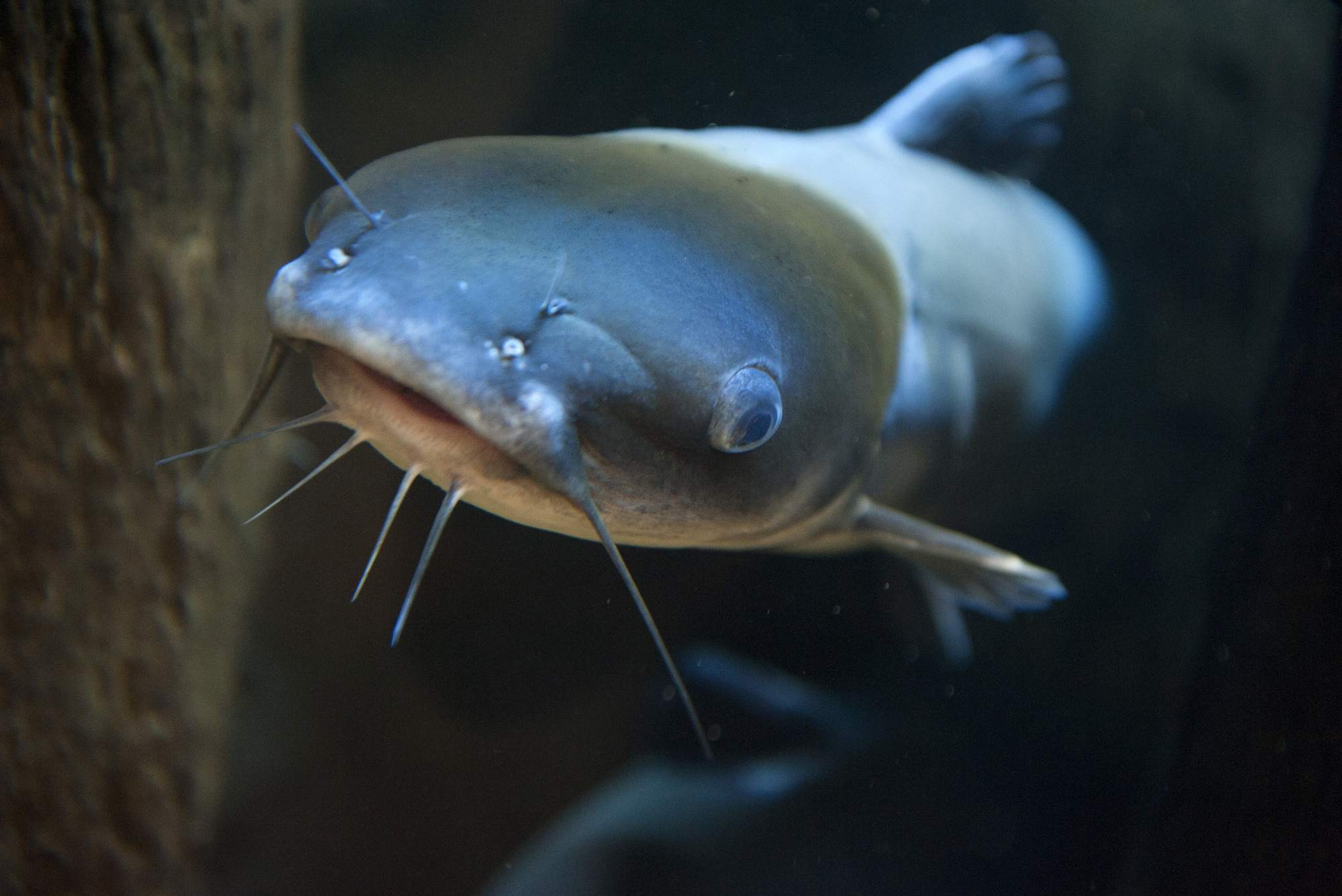 Primer plano de un pez gato