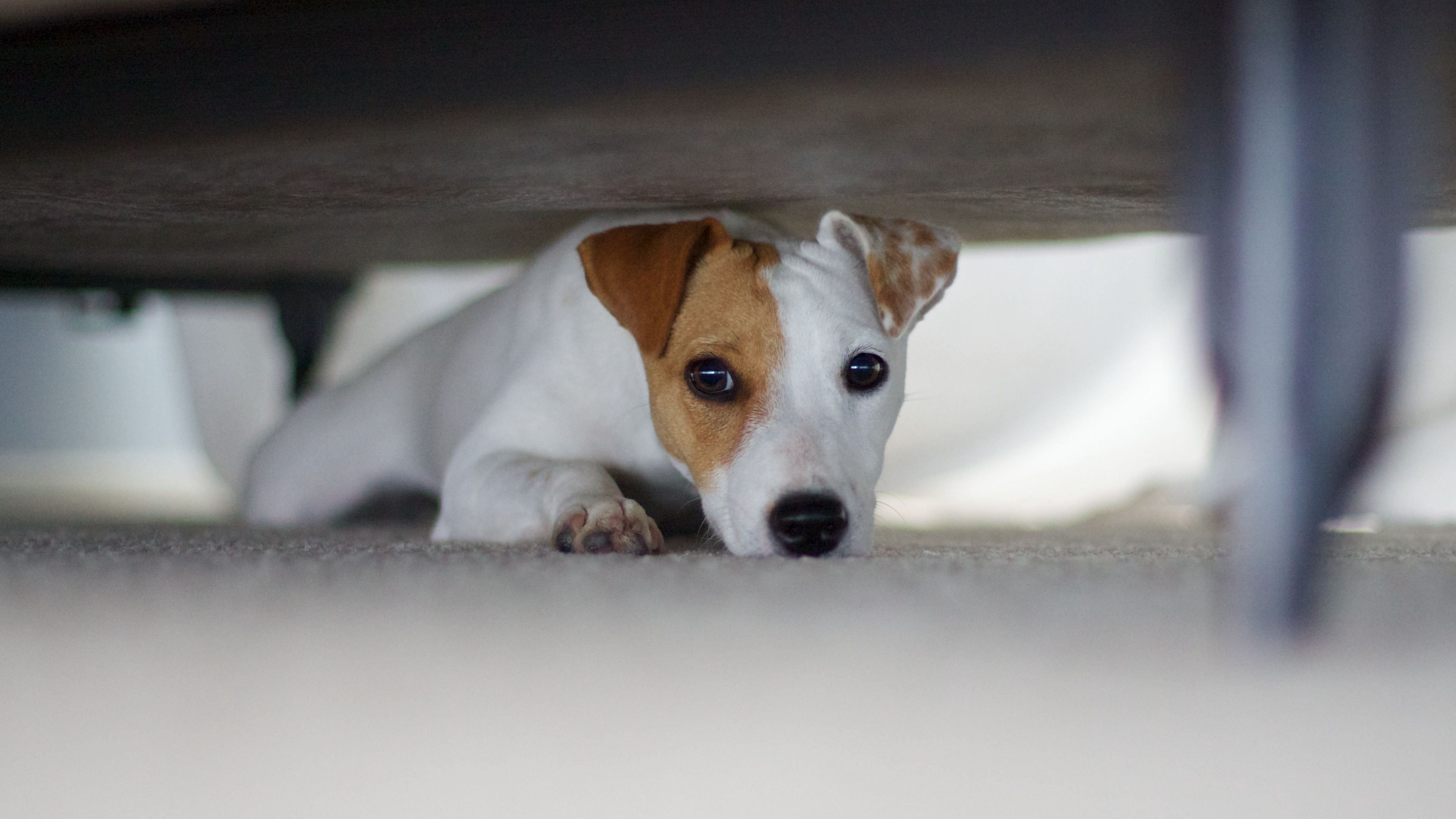Common Fears and Phobias in Dogs