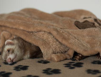 Ferret Sleeping at Home