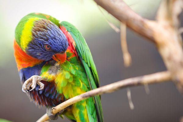Lorakeet Biting His Feathers
