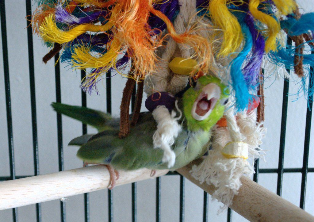 Parrotlet playing in cage