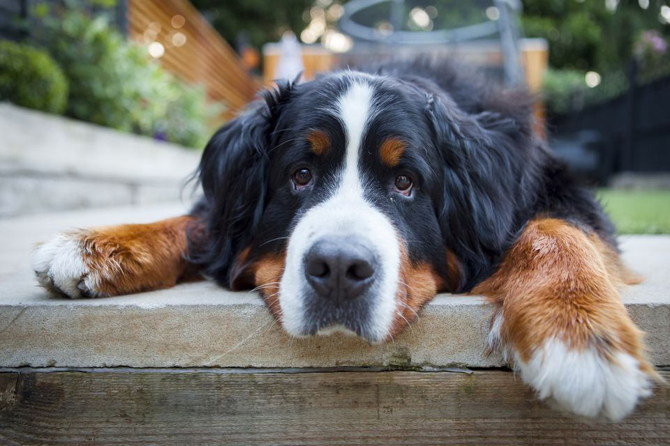 A Bernese Mountain dog laying on a patio.