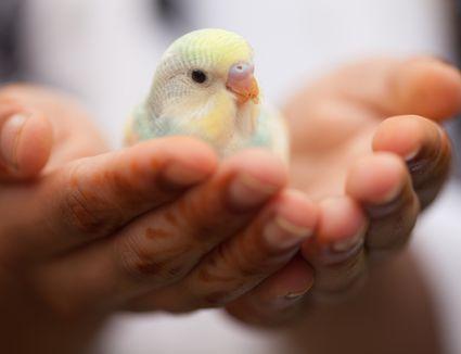 Portrait of parakeet in hands