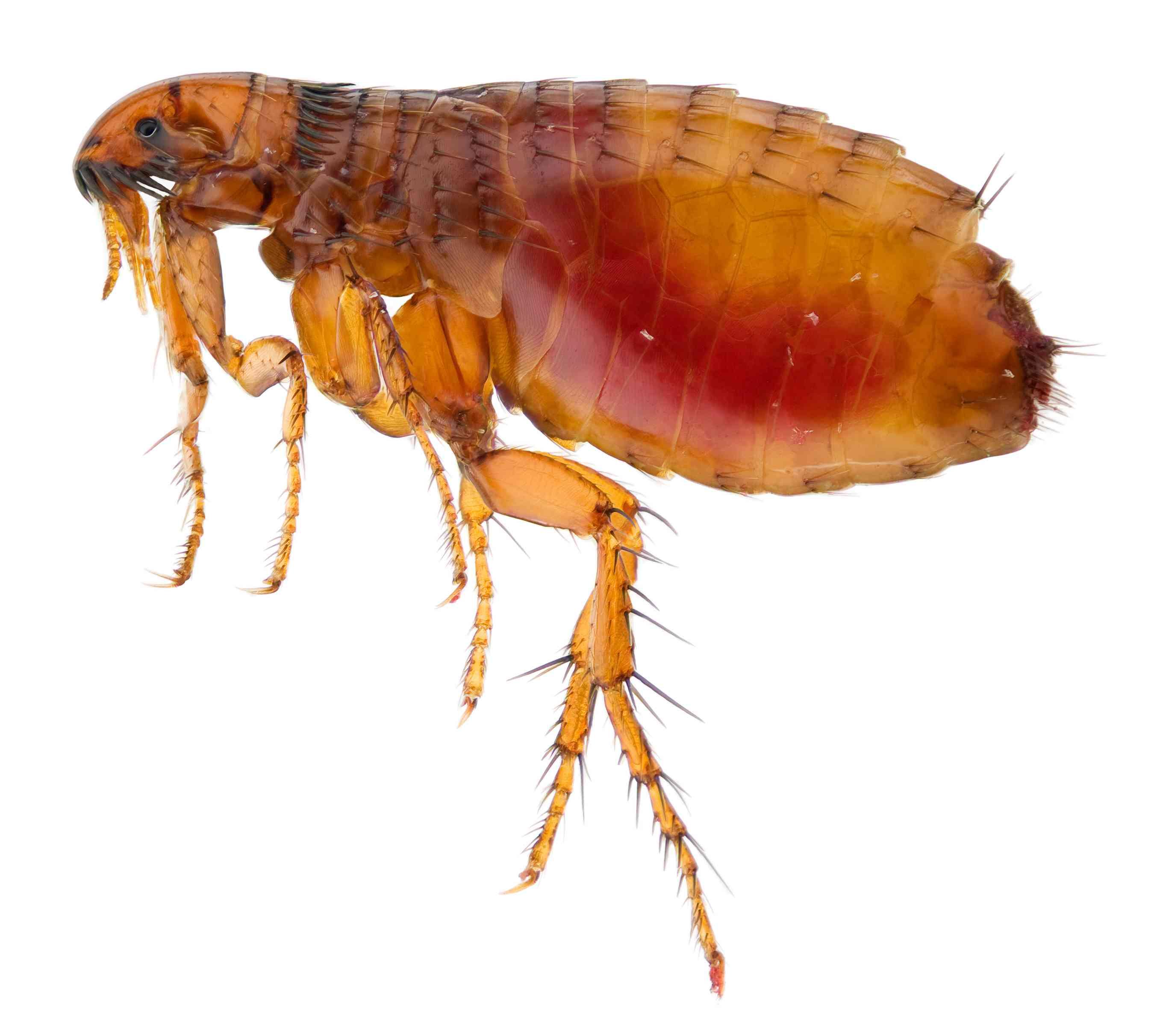 Up close image of a flea