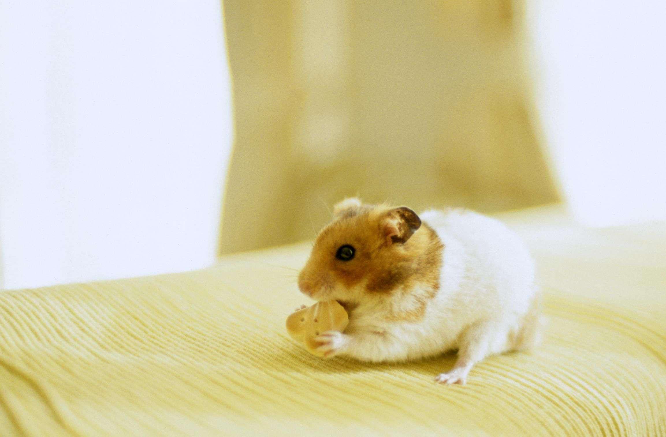 Hamster Diet & Nutrition