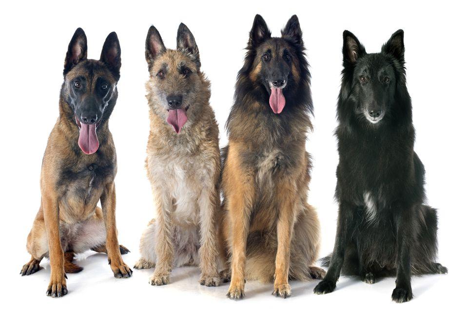 Belgian Laekenois, Belgian Malinois, Belgian Sheepdog, Belgian Tervuren
