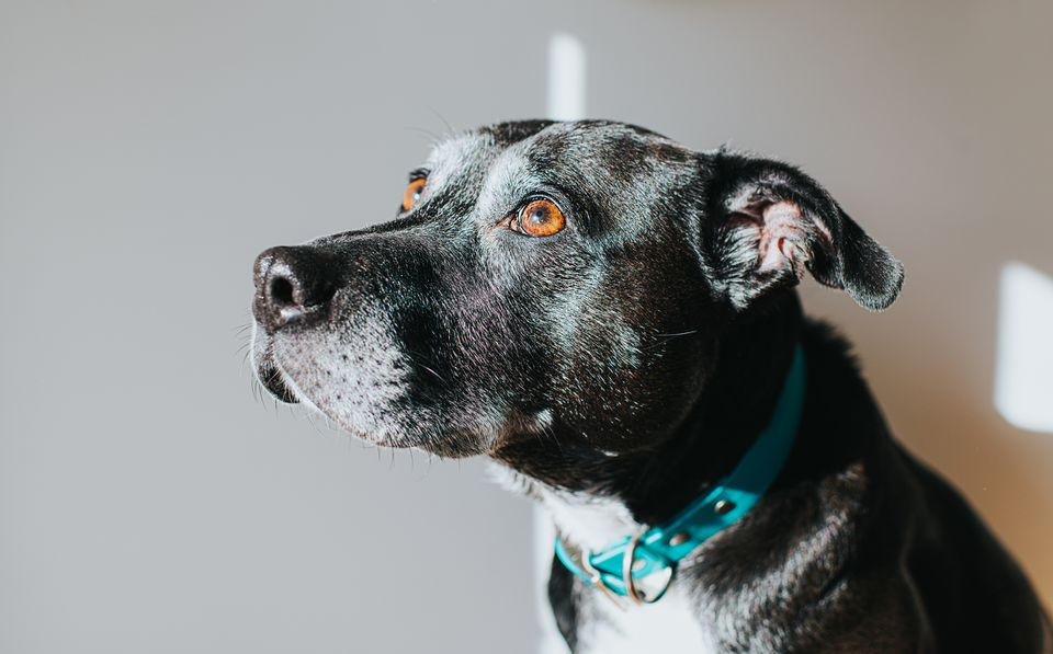 LA mixed breed older dog looking up