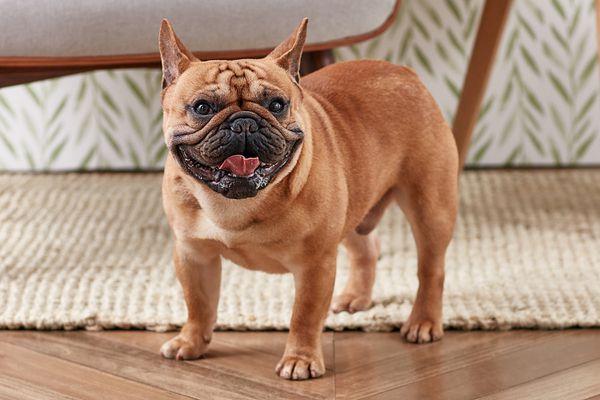 A French Bulldog panting
