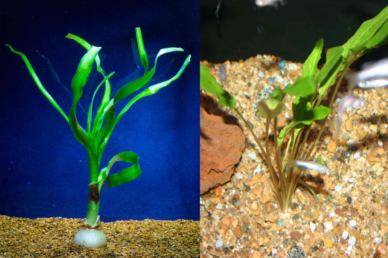 Aquarium plants that propagate with bulbs
