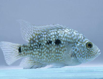 Texas cichlid (Herichthys carpintus) underwater, side view