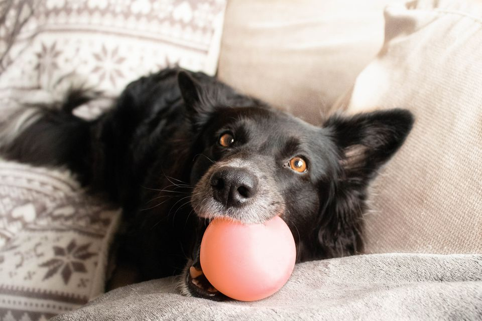 Black dog chewing on toy ball