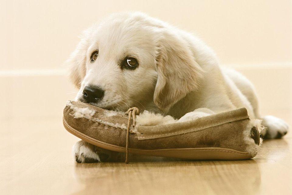 Golden Retriever Puppy chewing slipper on floor, close-up