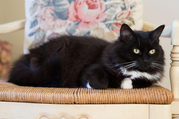 Tuxedo cat sitting on a wicker chair.