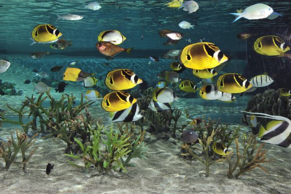 Butterflyfish swimming above coral in an aquarium