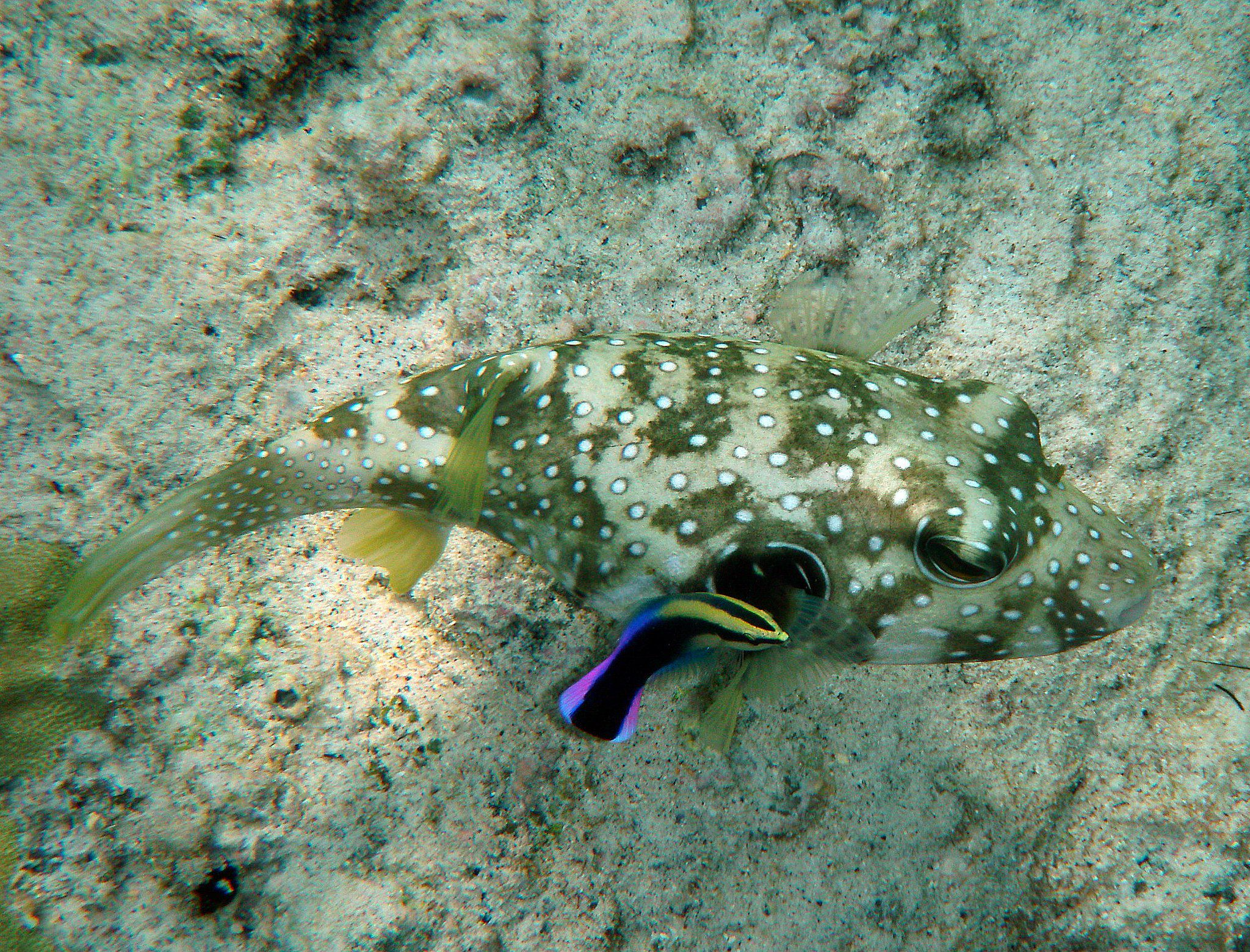 White-spotted puffer (Arothron hispidus) being cleaned by Hawaiian cleaner wrasse (Labroides phthirophagus).