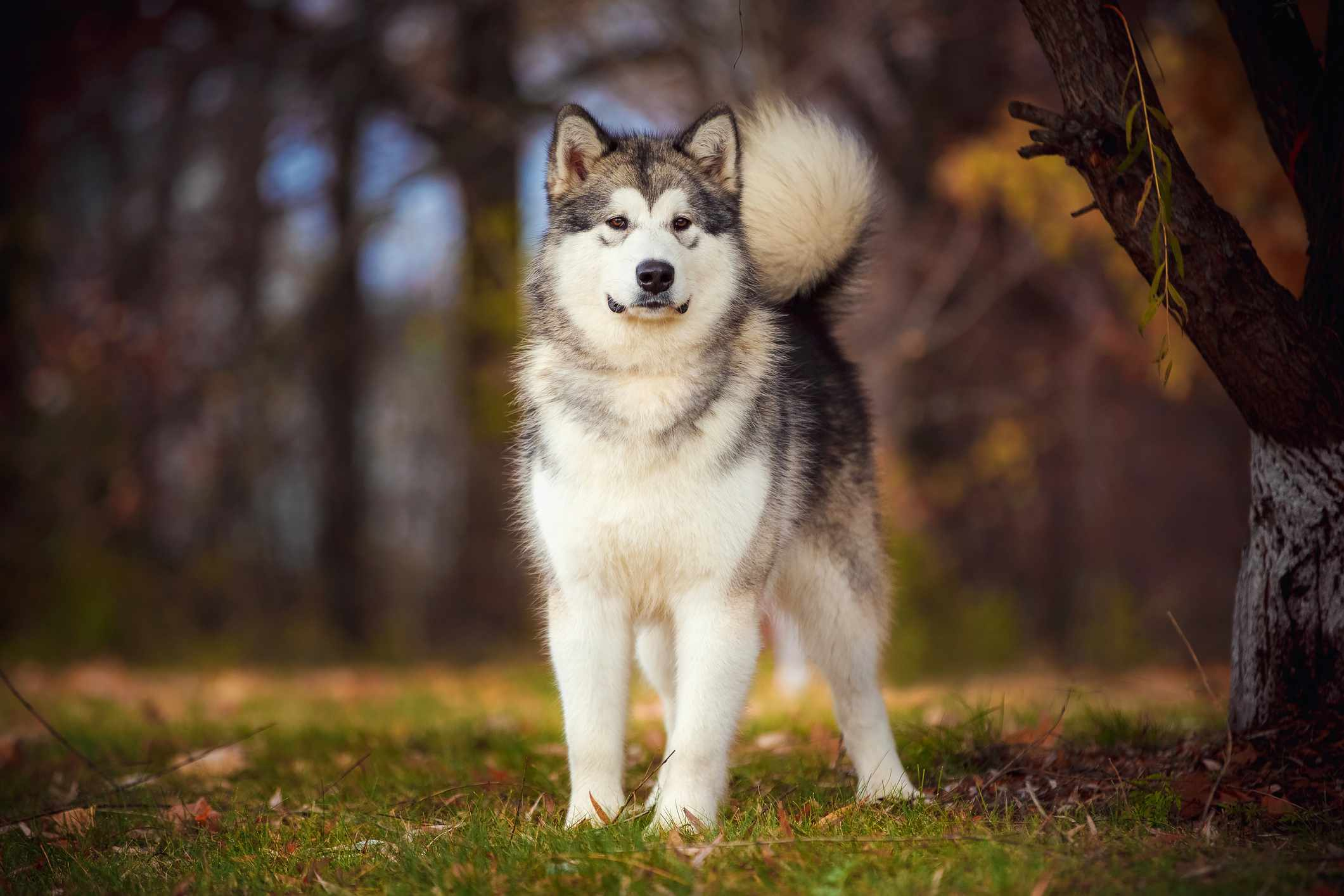 Alaskan malamute dog standing in grass