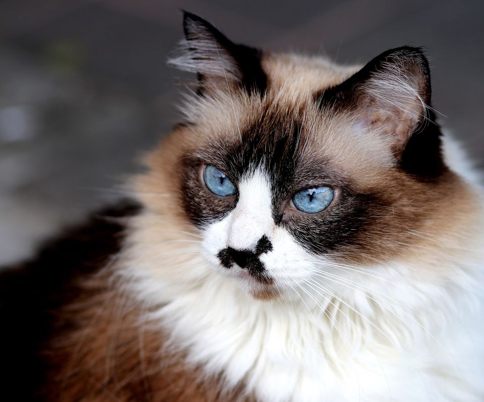 Adult Himalayan cat