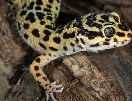 Leopard Gecko Eats Pinkie