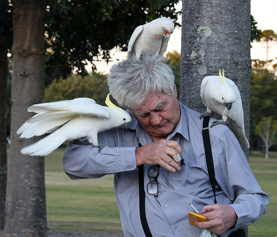Cockatoos perched on man in park