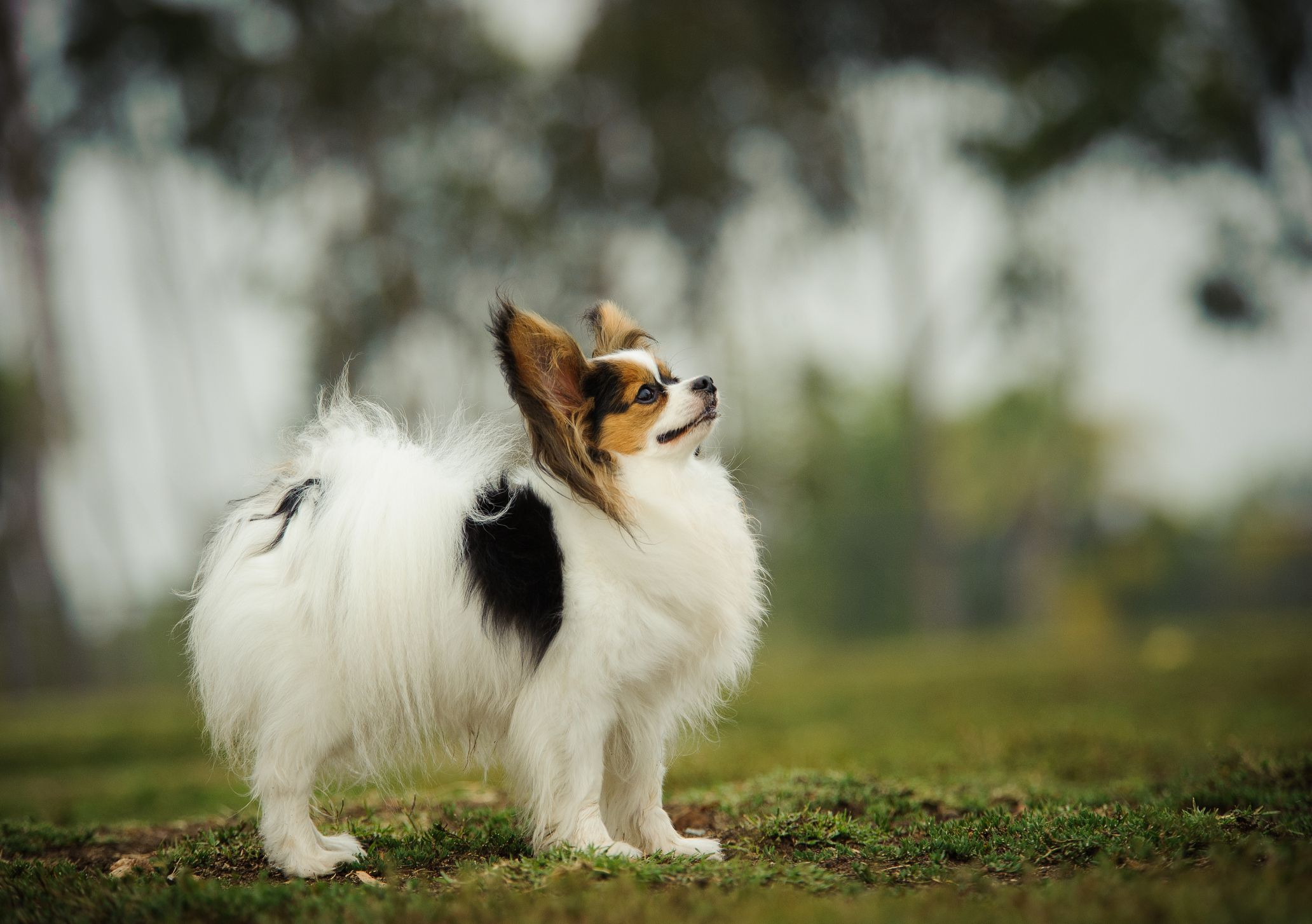 Papillon: Full Profile, History, and Care
