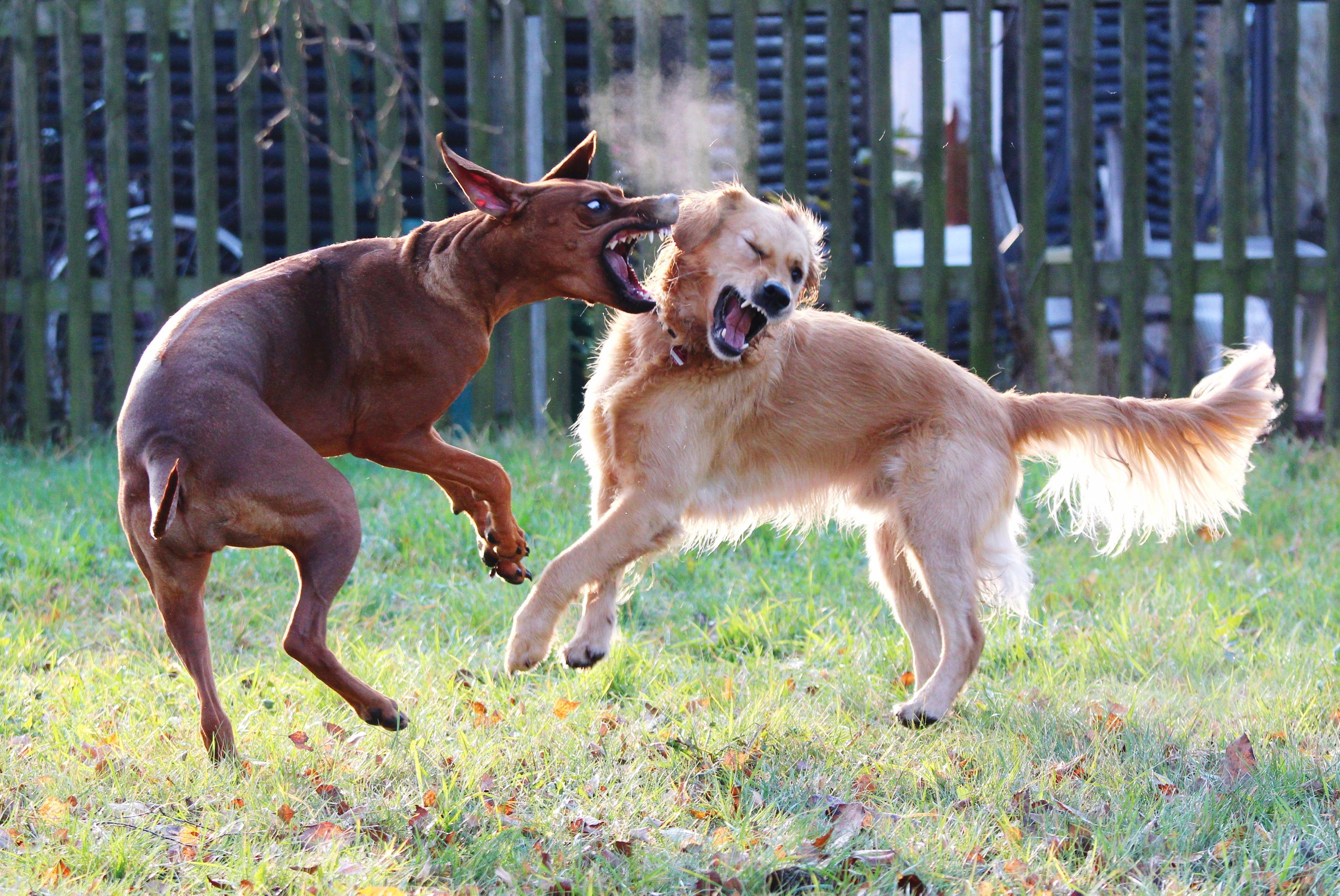 Dos perros peleando