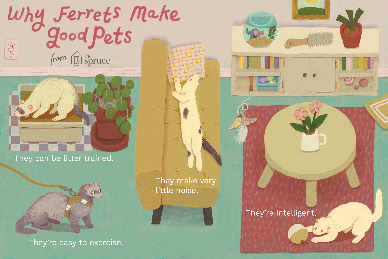 why ferrets make good pets illustration