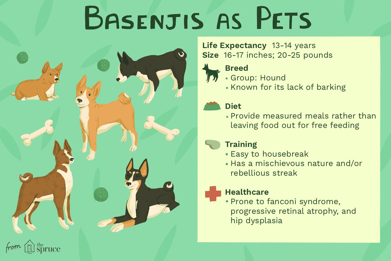 basenjis as pets illustration