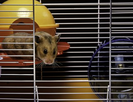 Syrian hamster in commercial cage