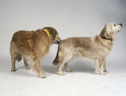 Golden retriever sniffing the hind end of another golden retriever.
