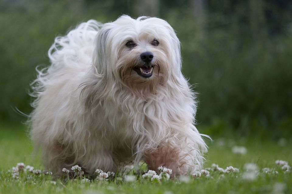 Havanese dog walking on a flowery lawn
