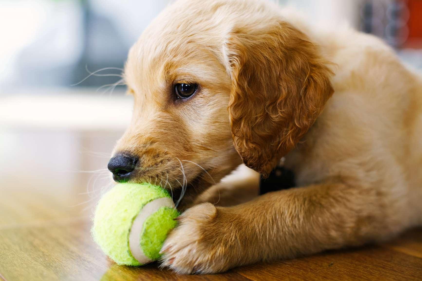 dog fetching a tennis ball